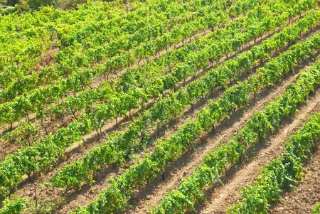 Vineyard- the green field with straight rows photo