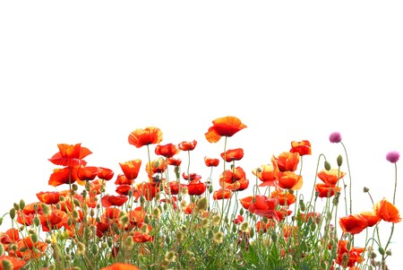 botanical farms: Beautiful red poppies isolated on white background