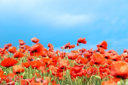 Field of beautiful red poppies with green grass photo
