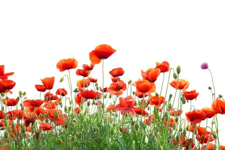 Beautiful red poppies isolated on white background Stock Photo - 8192197