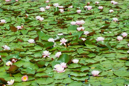 Water lily (Nymphaea alba) in the pond photo