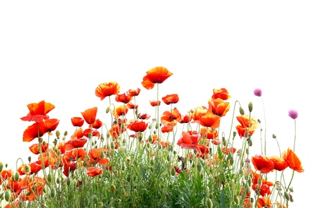 Beautiful red poppies isolated on white background photo