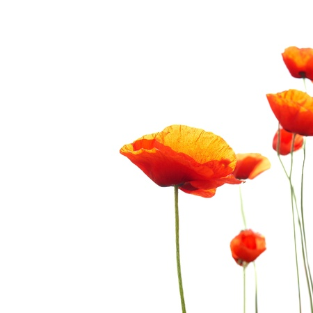 poppy flowers: Beautiful red poppies isolated on white background