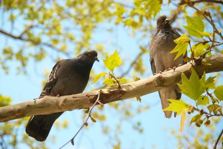 Two pigeons sitting on the branch with green leaves photo
