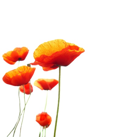 wild botany: Beautiful red poppies isolated on white background
