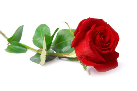 tallo: Rosa hermosa rojo aislada sobre fondo blanco