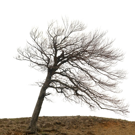 Lonely naked tree with roots on the hill isolated on white photo