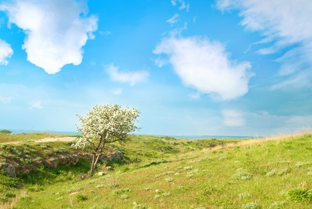 Blossom apple tree in the field with green grass, blue sky and clouds. Stock Photo - 11599482