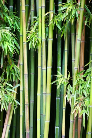 bamboo tree: Green bamboo can be used for natural background