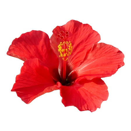 Red flower- Hibiscus rosa sinensis, isolated on white Stock Photo - 12761677