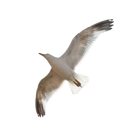 sea gull: Flying seagull isolated on the white background. Stock Photo