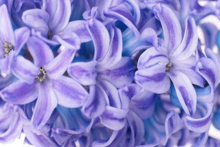 Beautiful blue flowers hyacinthes isolated on white. Spring macro background photo