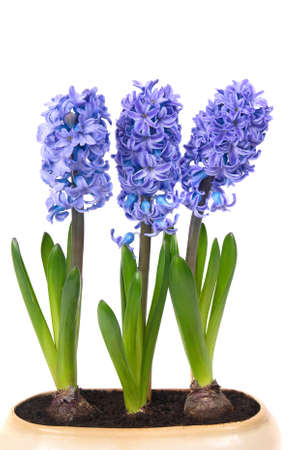 Blue flowers hyacinthes with green leaves in the flowerpot isolated on white photo