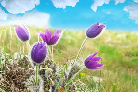 pulsatilla: Pasqueflowers (Pulsatilla patens) on the field with grass