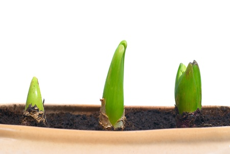 Three growing plants in the pot isolated on white Stock Photo - 13196206