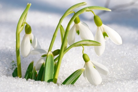 fresh snow: Spring snowdrop flowers with snow in the forest Stock Photo