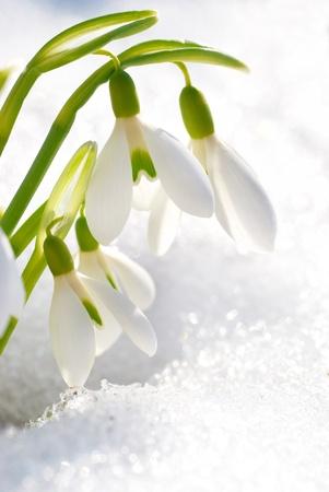 Lente sneeuwklokje bloemen met sneeuw in het bos Stockfoto - 13196219