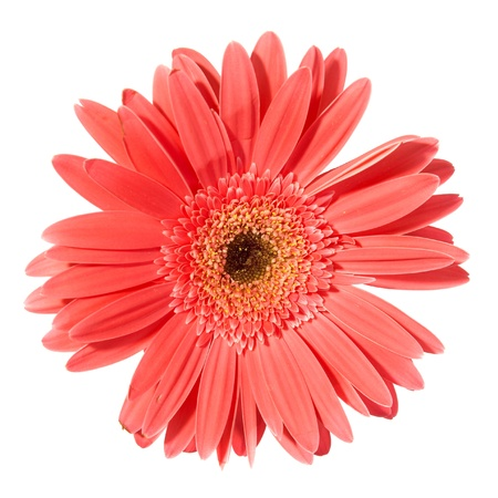Red flower gerbera isolated on white background Stock Photo - 13196209