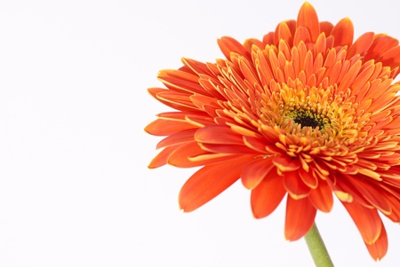 Red flower gerbera isolated on white background  Stock Photo - 13196224