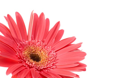 Red flower gerbera isolated on white background  Stock Photo - 13196214