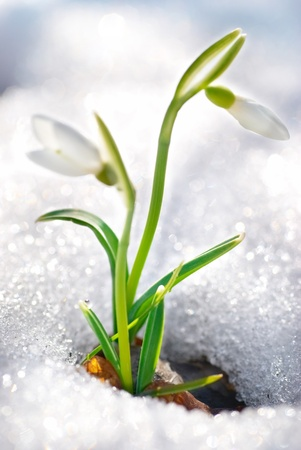 Spring snowdrop flowers with snow in the forest Stock Photo