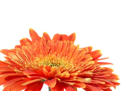 orange gerbera: Red flower gerbera isolated on white background