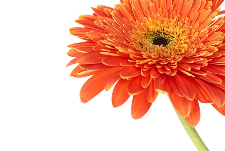 Red flower gerbera isolated on white background  Stock Photo - 13549531