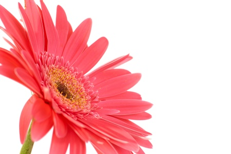red gerber daisy: Red flower gerbera isolated on white background