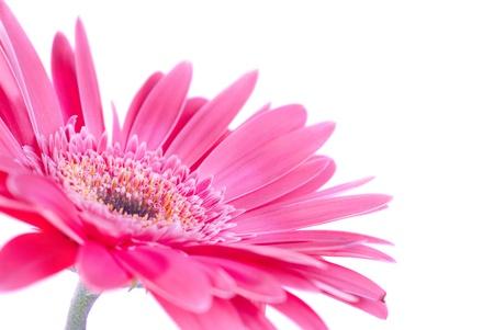 Lila Blume Gerbera isoliert auf weißem Hintergrund