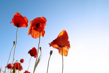 Beautiful red poppies on the blue sky background photo