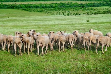 Herd of sheep on the green field Stock Photo