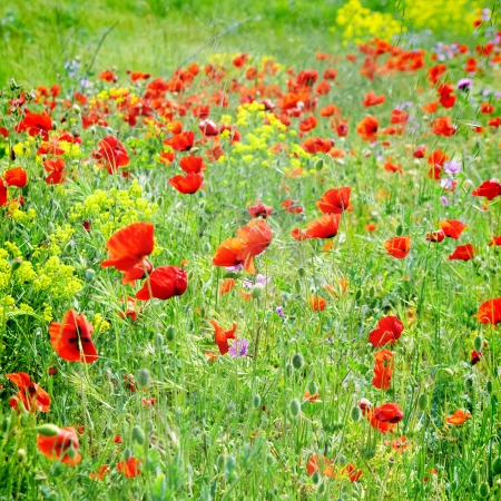 poppy field: Field of poppies with green grass and yellow flowers