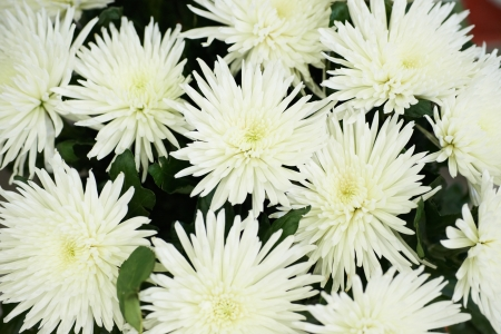 Bunch of beautiful white chrysanthemums. Flower background photo