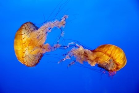 Two orange jellyfish in an aquarium with blue water background photo