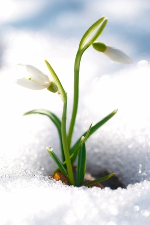 Spring snowdrop flowers with snow in the forest 스톡 콘텐츠