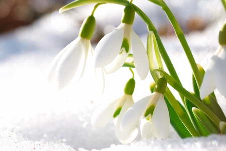 snow drop: Spring snowdrop flowers with snow in the forest Stock Photo