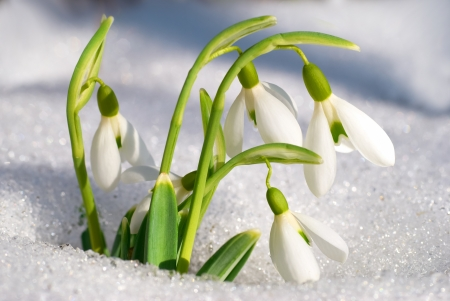Spring snowdrop flowers with snow in the forest Reklamní fotografie