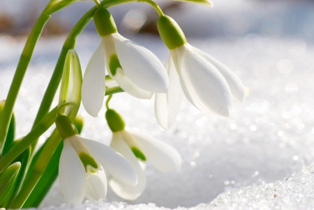 Spring snowdrop flowers with snow in the forest photo
