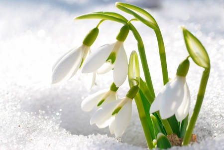 Lente sneeuwklokje bloemen met sneeuw in het bos Stockfoto - 17452430