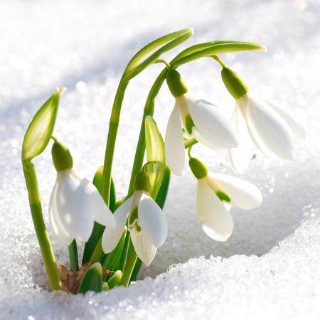 Frühling Schneeglöckchen Blüten mit Schnee im Wald Lizenzfreie Bilder