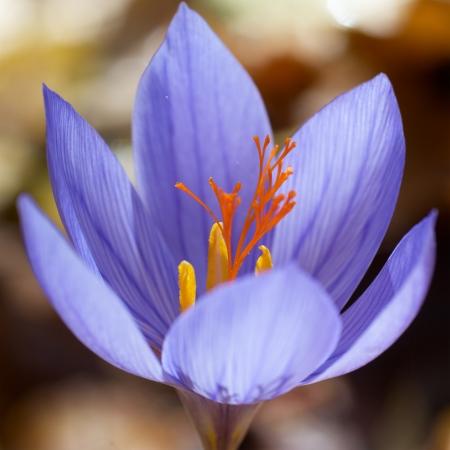 Blue flower crocus ligusticus (saffron) in the forest  photo