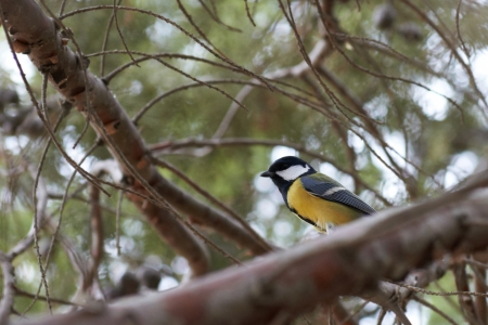 Small bird great tit (parus major) on tree branch  photo