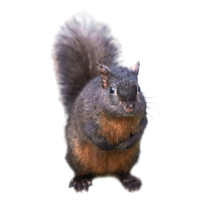 Pretty black squirrel isolated on white background photo