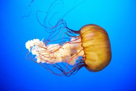 젤리: 푸른 바다 물에 오렌지 해파리 (Chrysaora의 fuscescens 또는 태평양 바다 쐐기풀) 스톡 사진