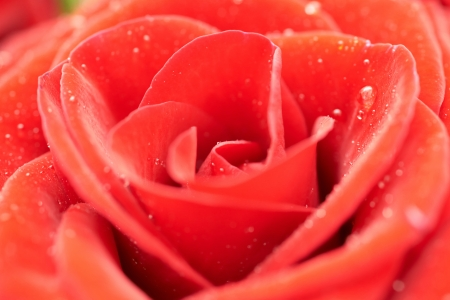 Beatiful dark red rose. Close-up macro view photo