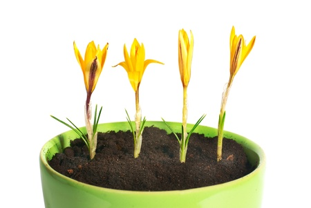 flowerpots: Yellow flowers saffron (crocus sativus) with green leaves in the flowerpot isolated on white Stock Photo