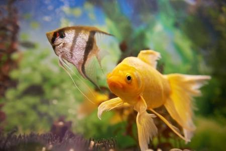 pez pecera: Coloridos peces tropicales nadan en acuario con plantas