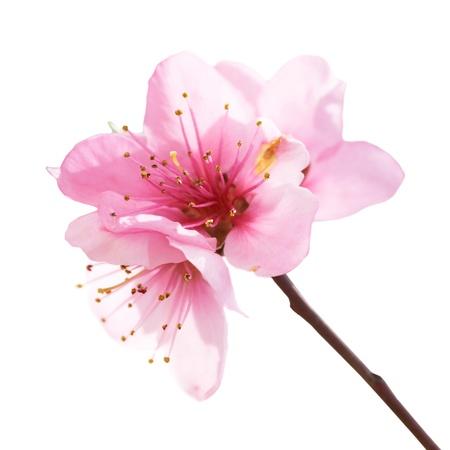 Almond rosa Blüten auf weißem isoliert. Makroaufnahme Lizenzfreie Bilder