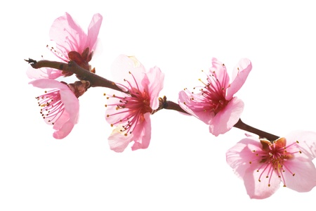 Almond pink flowers isolated on white. Macro shot