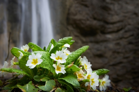 primula: Spring yellow flower (Primula vulgaris) on the waterfall background Stock Photo